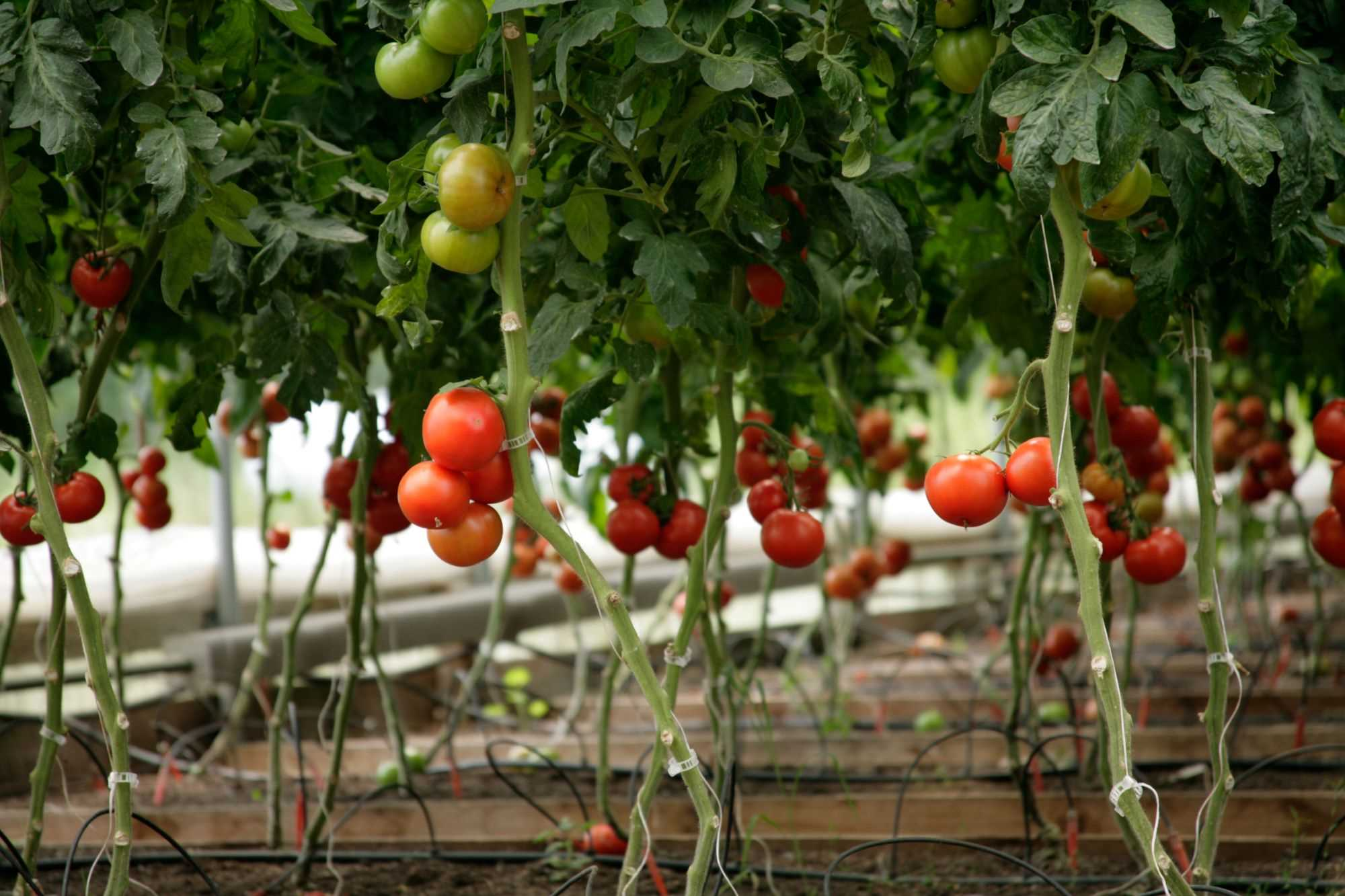 McEnroe Organic Tomatoes Are Available from April to December