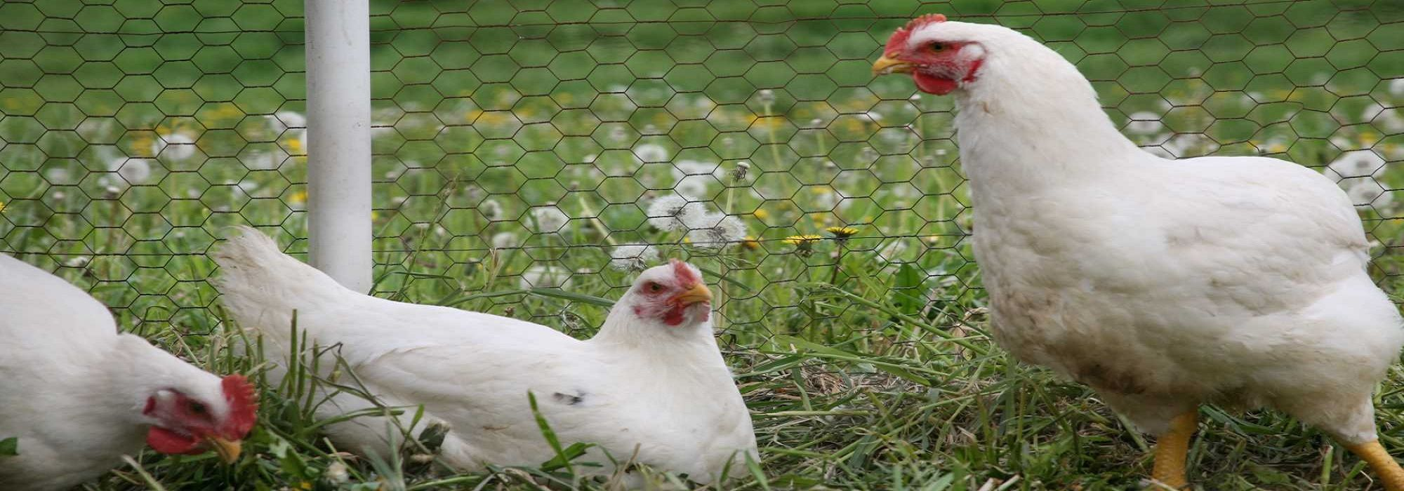 Our Cornish Cross Chickens