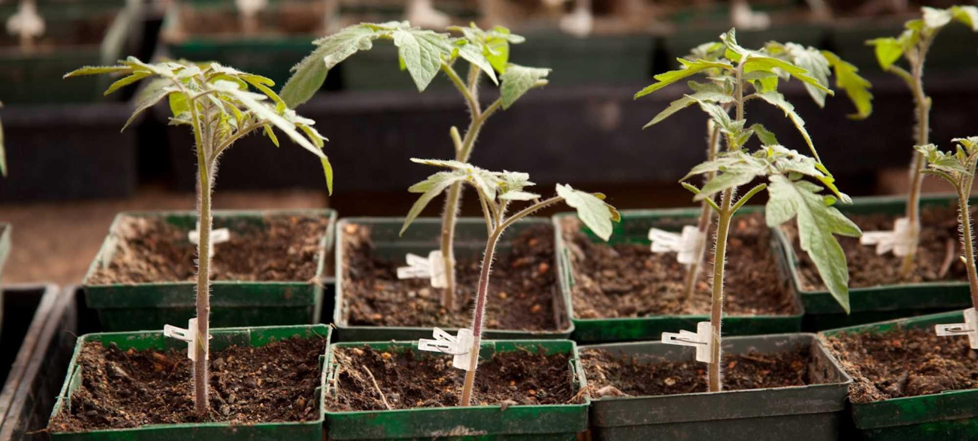 Grafted Tomato Starts